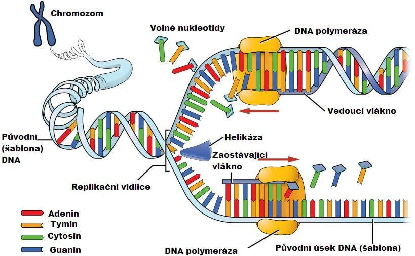 Změna DNA u trombofilie, mutace protrombinového genu, trombofilie, protrombinová mutace