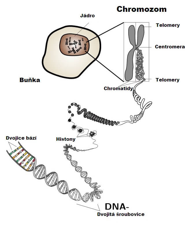 genetika, trombofilní genové mutace